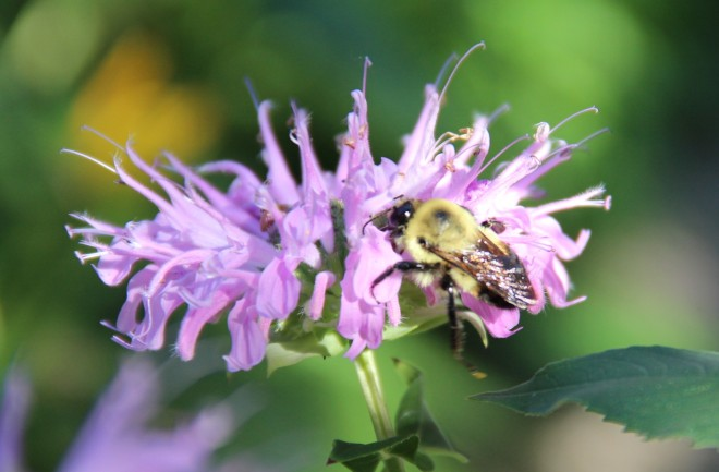 Bumble bee on native monarda