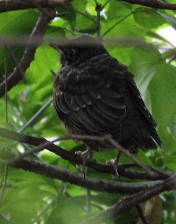 Baby robin.