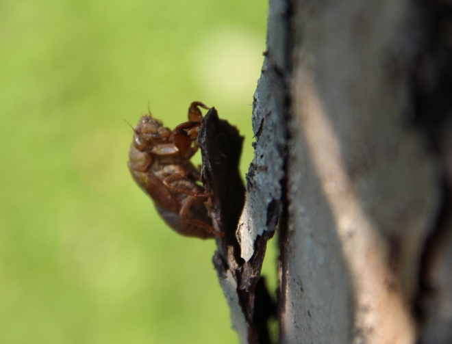 A molted exoskeleton, or hard outer casing of an annual cicada nymph, attached to the bark of our apple tree.