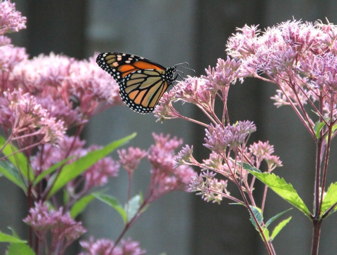 A monarch sips Joe-Pye weed nectar in early-morning sunlight.