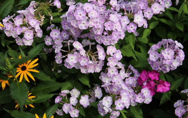 phlox 'Katherine' and black-eyed Susan's