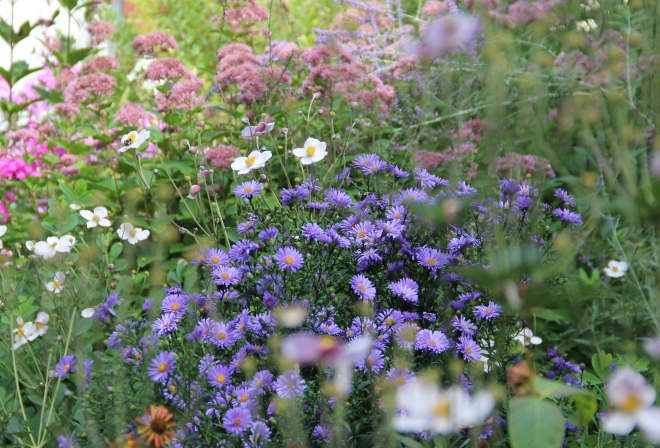 Asters with spotted Joe-Pye weed and Japanese anemones