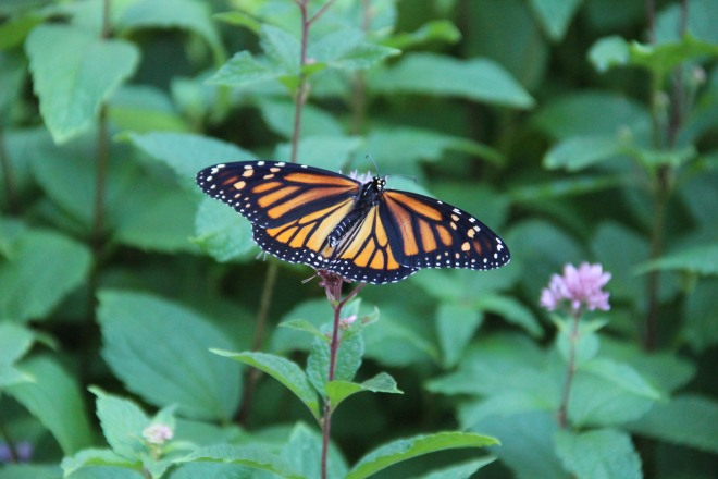 A monarch sips nectar from a spotted Joe-Pye weed plant.