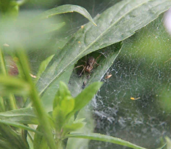 A funnel spider spun its web among the helenium plants.