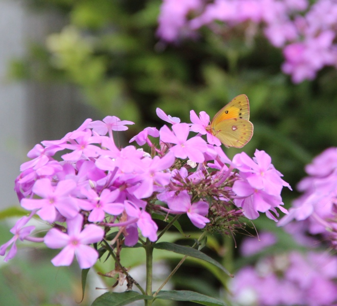 An orange sulphur butterfly (Colias eurytheme) drinks nectar from garden phlox.