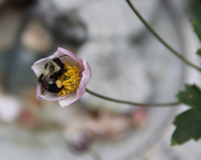 A bumblebee buzz pollinates a Japanese anemone in our garden.