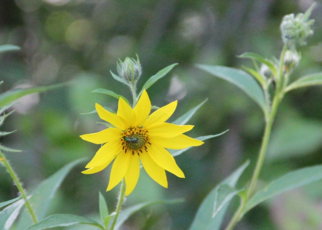 A female green metallic bee searches for nectar in a woodland sunflower.