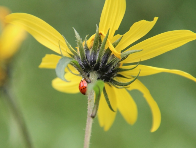 Ladybug beetle on woodland sunflower.