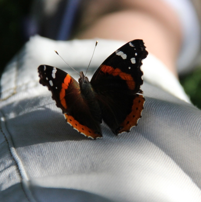 The red-barred upper wings of a red admiral that perched on my leg.