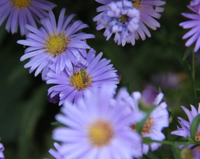 Aster novii-belgi with green bee (