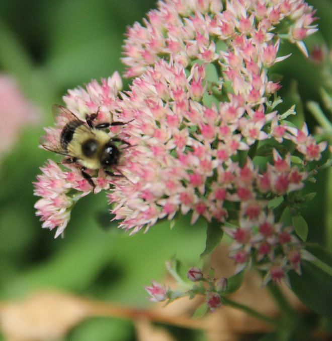 A bumble bee (Bombus) nectars on Sedum 'autumn joy'.