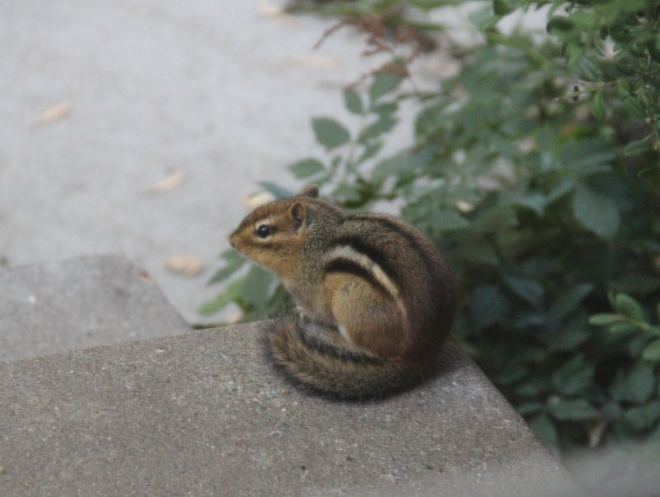 An eastern chipmunk surveys the backyard from its perch on our back steps.