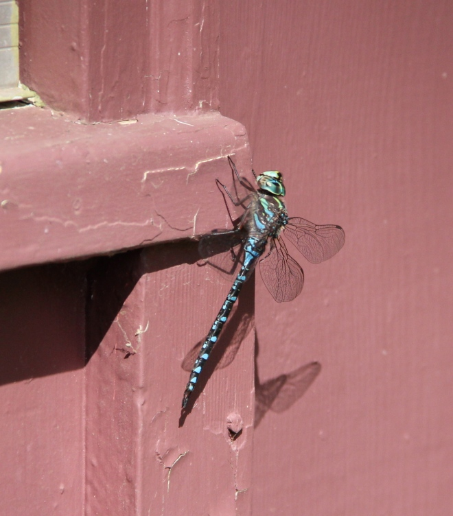 A lake darner dragonfly (Aeshna eremita) rests in the sun.