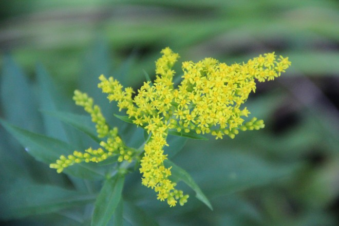 Native goldenrod