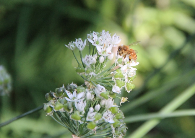A honey bee nectars on garlic chive blossoms (Allium tuberosum).