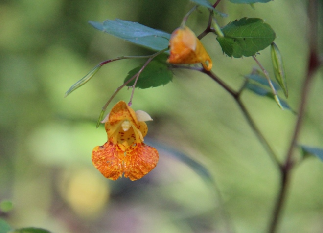 Spotted jewelweed (Impatiens capensis)blossom and ripening seed pods.