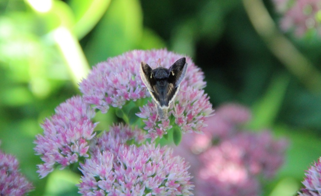 A celery looper (   ) nectars on Sedum 'autumn joy'.