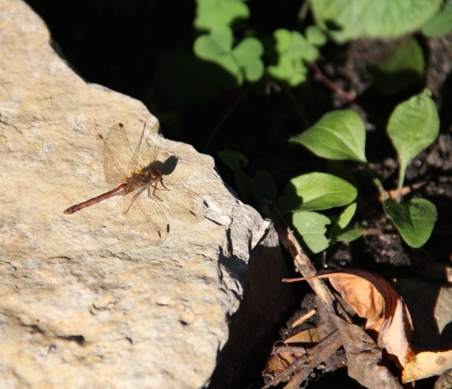 A male autumn meadowhawk dragonfly (Sympetrum vicinum) suns on a stone wall in the garden.