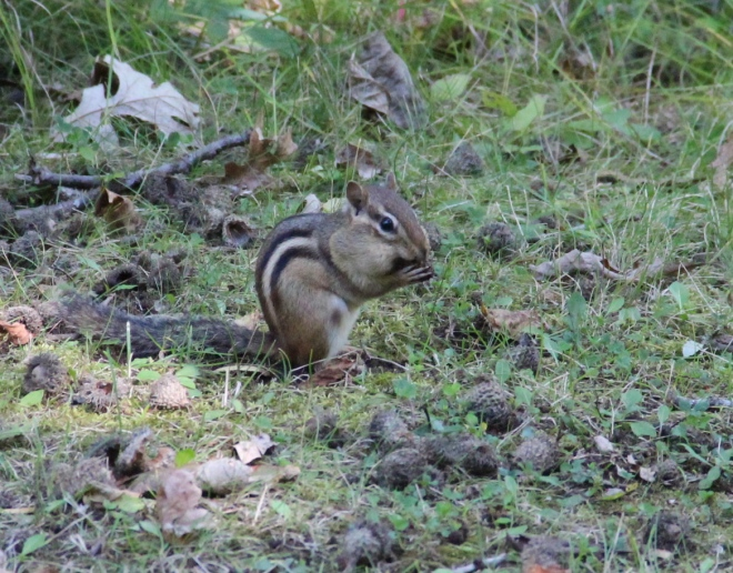 An eastern chipmunk collects acorns, hickory and hazelnuts in its pouches to store in its den for the winter.
