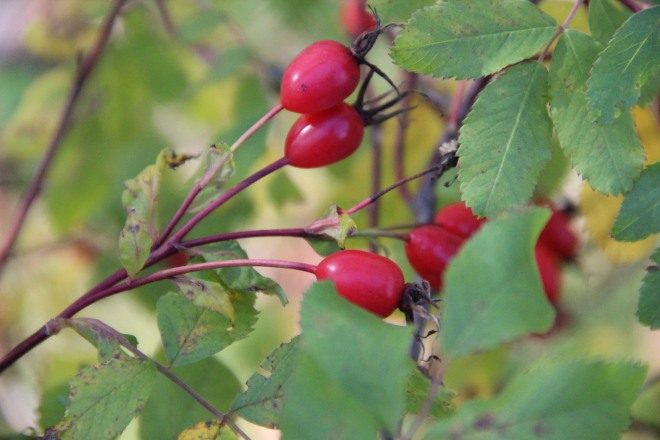 Wild rose hips ripen to cherry red.