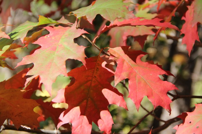 Northern red oak leaves begin to change color.