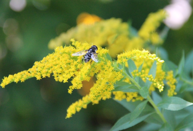 A Syrphid fly, (Eristalis) pollinates native goldenrod.
