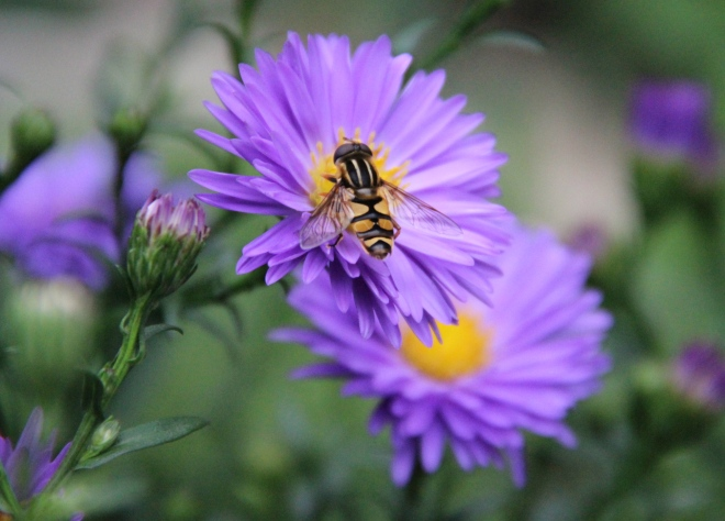 Another species of Syrphid fly pollinates garden asters.