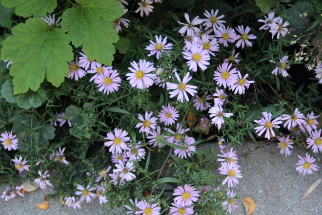 Dwarf wood asters (Aster novi-belgii 'Woods pink')