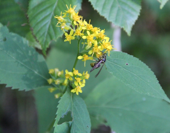 Zigzag goldenrod with aerial yellowjacket (Dolichovespula arenia).