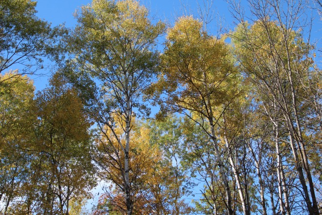 A grove of quaking aspens (Populus tremuloides) grows west of our cabin.