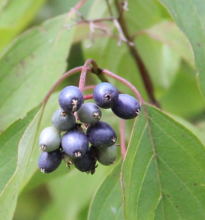 Swamp or silky dogwood (Cornus amomum) berries ripen to dark blue. The shrubs form dense thickets that provide cover for snowshoe hare and other animals.