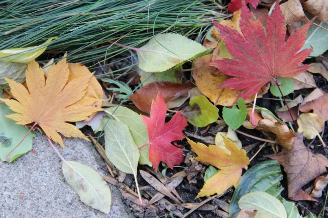 A southwest wind blew together a small pile of maple and apple leaves with ash keys nestled next to blue fescue 'Elijah blue'.