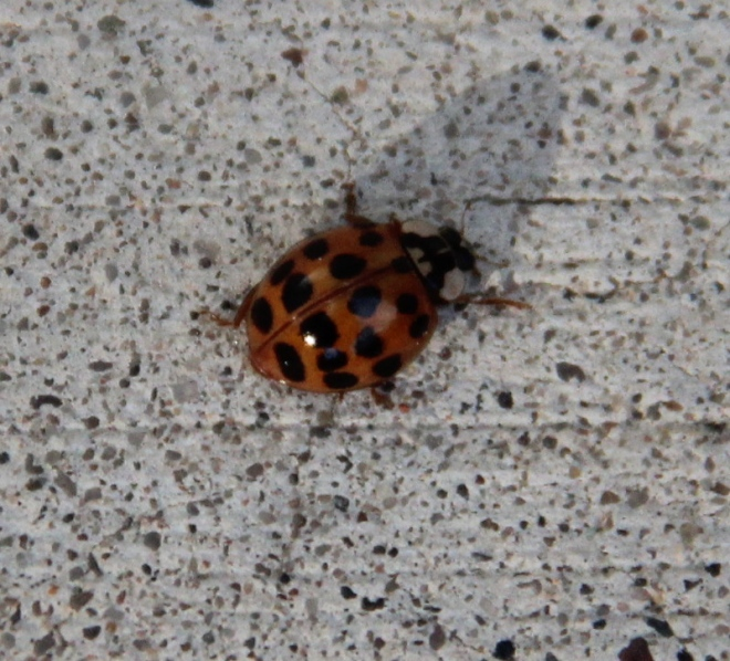 An Asian ladybug (Harmonia axyridis) soaks up the afternoon sun.
