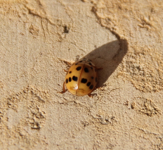 Individual Asian ladybugs show greater variation in color and number of spots number of spots amo