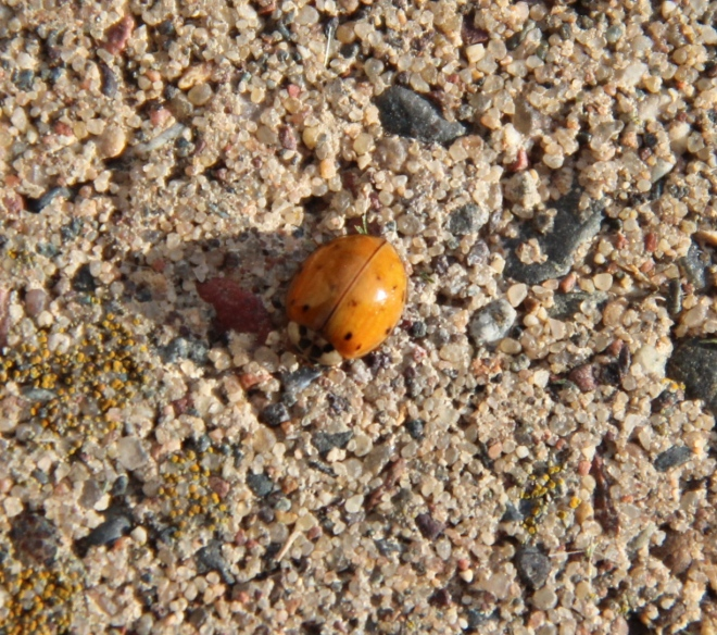 Like native ladybug species, Asian ladybugs eat large numbers of garden and agricultural pests, such as aphids.