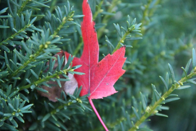 A maple leaf, 'autumn blaze', glows against the dark green of a yew where it was trapped by the wind.