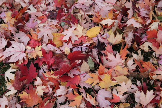 A bright patchwork sewn of maple leaves decorates our front lawn.