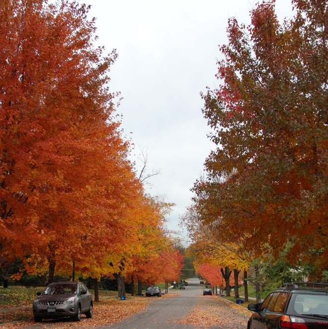 Several species of maple show their colors on our St. Paul, MN, avenue.