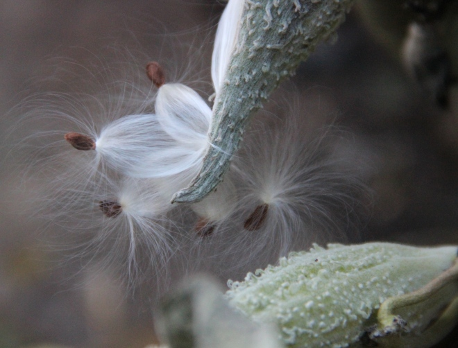 The delicate-looking seeds of common milkweed escape their pods.