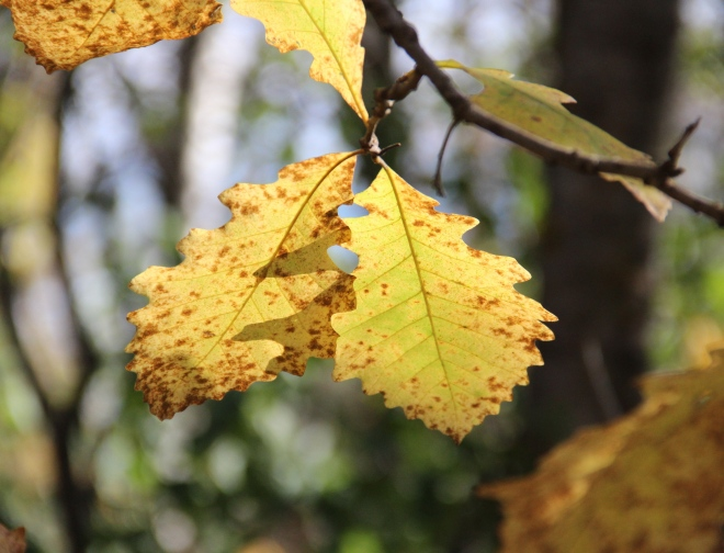 Bur Oak or Mossycup Oak (Quercus macrocarpa) leaves turn yellow or brown in autumn.