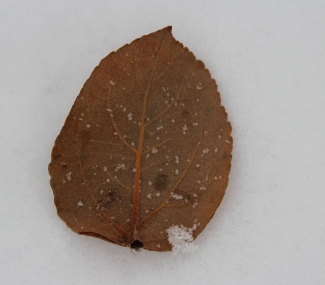 A single apple leaf...