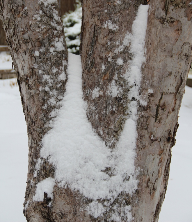 "Snow softens the rough bark of 70-year-old beacon apple tree (Malus ""beacon"")."