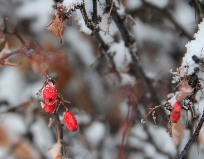 Red leaf barberry (Berberis thunbergii atropupurea berries are coated with freezing rain and snow.