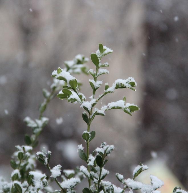 Snow frosts an evergreen Korean boxwood (Buxus microphylla var. koreana).