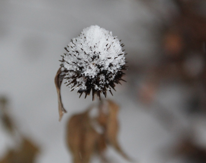 A purple coneflower (Echinacea purpurea) seed head sparkles with beads of sleet.