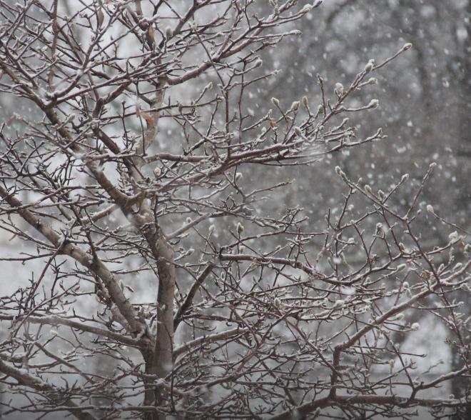 Star magnolia (Magnolia stellata) buds are coated in snow.