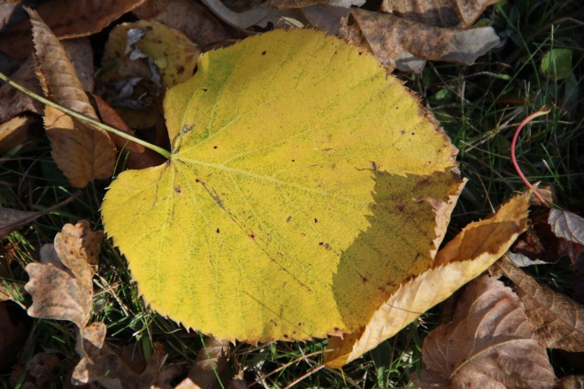 A basswood leaf glows in the late afternoon autumn sun.