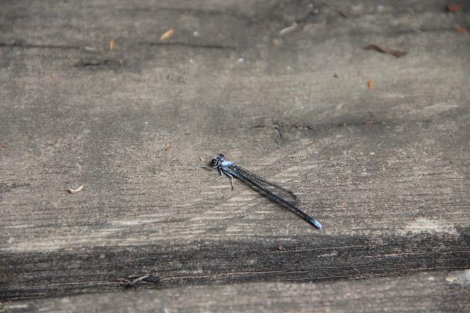 Bluets (Enallagma) are plentiful along the river in late summer.