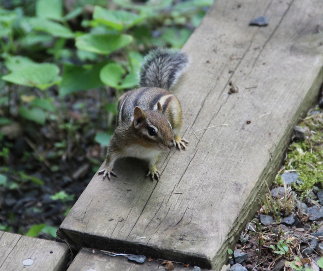Eastern chipmunks gather nuts, seeds and fruit for the winter.