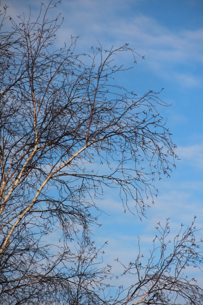 Birch branches, bare except for their catkins, ...